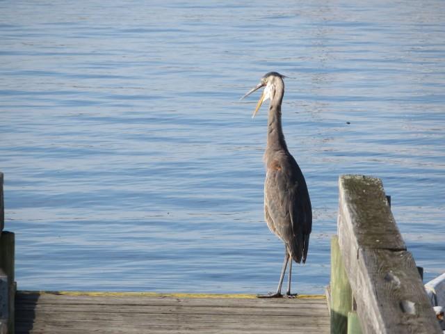 Bird on the dinghy dock