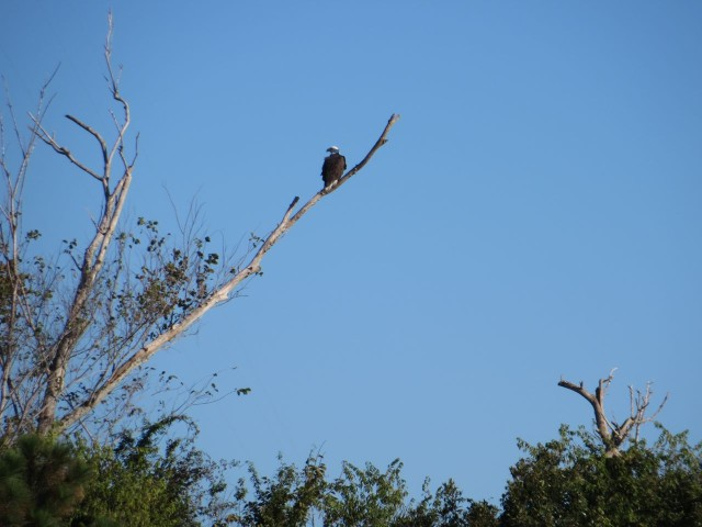 An eagle inspecting the ICW travelers