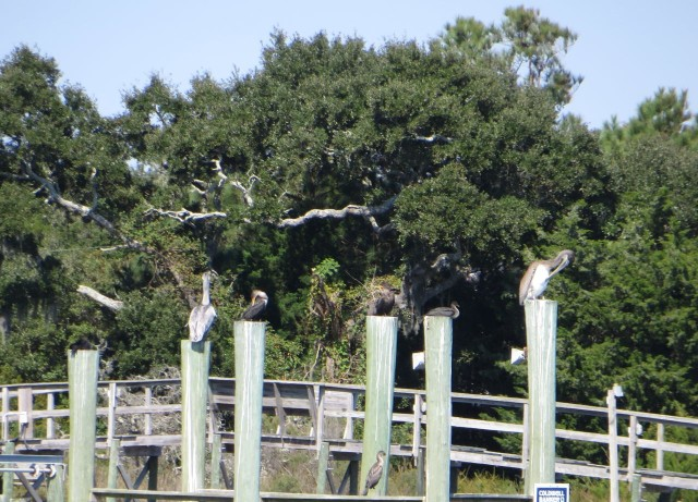 Saw a lot of pelicans today, flying diving and just perching