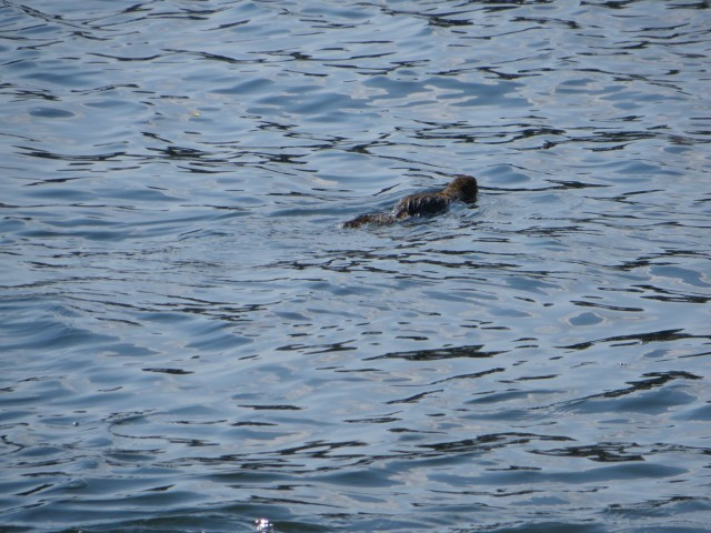 A swimming squirrel or a sea monster?