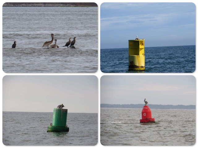 Pelicans on every and any buoy!