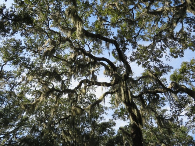 The Spanish moss canopy above our heads