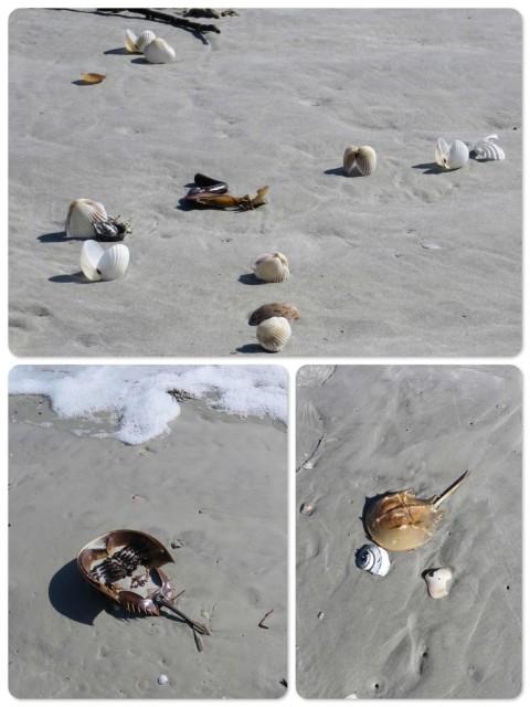 ~Shells tumbled across the sand ~Big and baby horseshoe crab shells