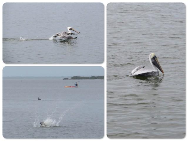 Pelican action
