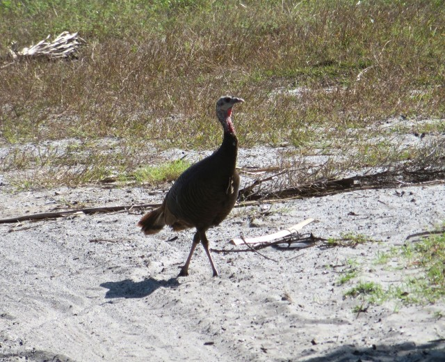 And there was this wild turkey strutting his stuff down the path