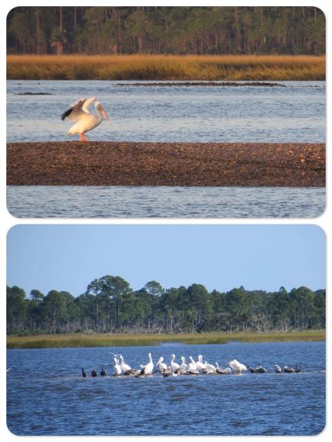 Florida's pelicans