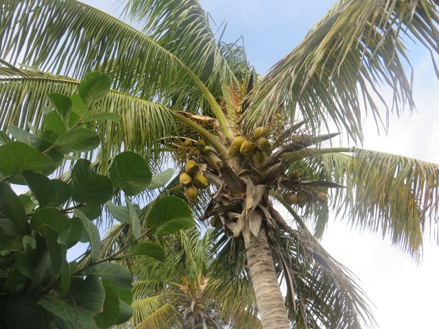 Coconut tree along the road