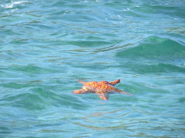 This starfish didn't sink back down, but floated away. I worried that he/she would not make it back down to a soft, safe place below the surface.