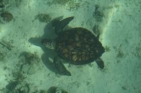A web photo of a sea turtle. There is no way I will ever be quick enough to photograph one.