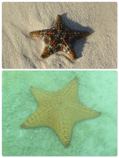 The top photo is of a smaller starfish right on the beach near our boat.THe lower one is the larger yellow kind. This photo was taken from our dinghy.