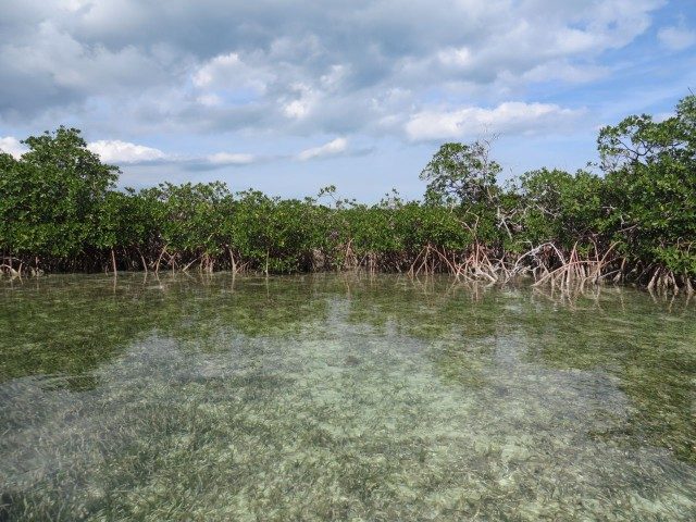 Mangrove trees line the edge. Their roots provide support and also breathe air allowing the mangrove to survive and thrive in saltwater tropical climates.