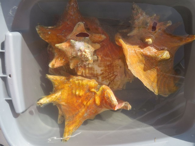 Bucket of soaking conch shells. There will be another blog post about conch shells!