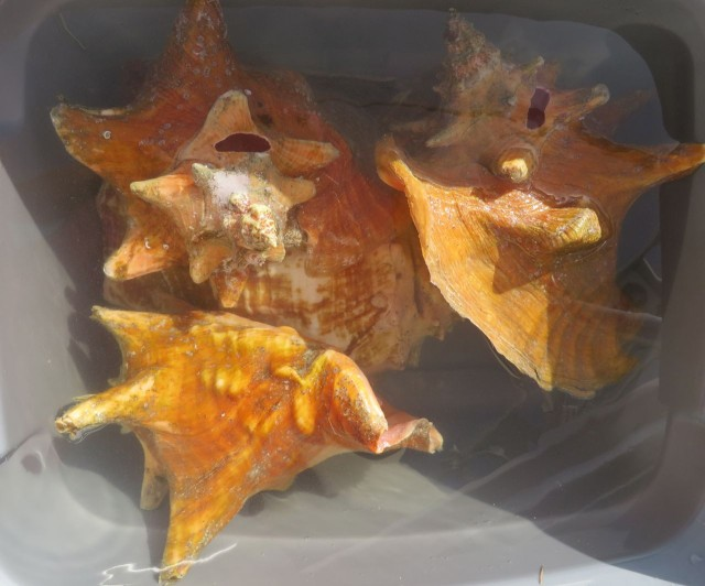 COnch shells sitting in a bucket of water and bleach