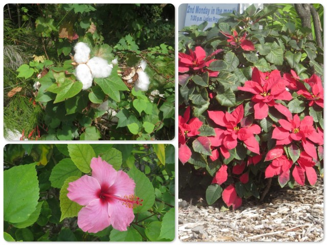 Top left -Cotton  Right - a poinsettia bush Bottom left - hibiscus