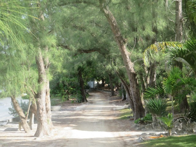 A walk along the north shore path, lined with   pine trees.