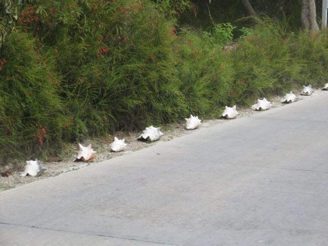 A road on Man-O-War Cay lined with conch shells.