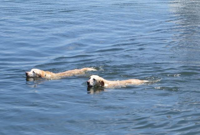 swimming retirevers