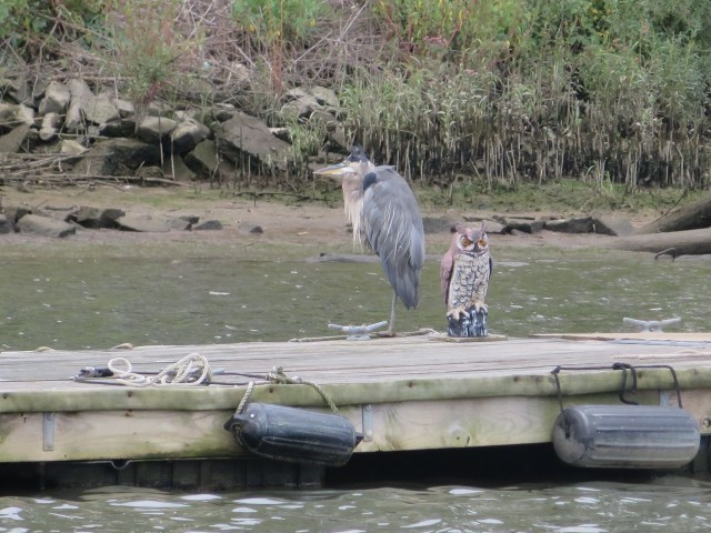 During the dinghy ride around the harbor, we spied this crane sharing the old dock with a fake owl.