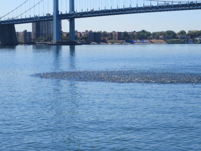 See the bunker fish swirl in the water as we approach the Throgs Neck Bridge?