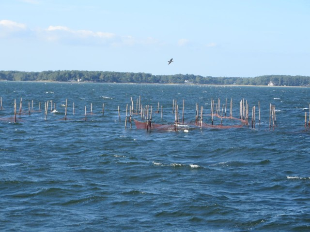Have to keep a watch for the fish traps marked by their poles.