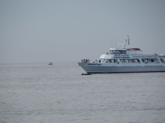 As we neared the Cape May inlet, we spotted a whale watch boat with a whale under its bow!