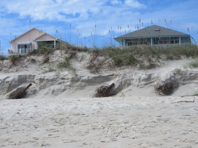 Only Al would notice that these are old Christmas trees buried in the sand along the beach.To prevent erosion?