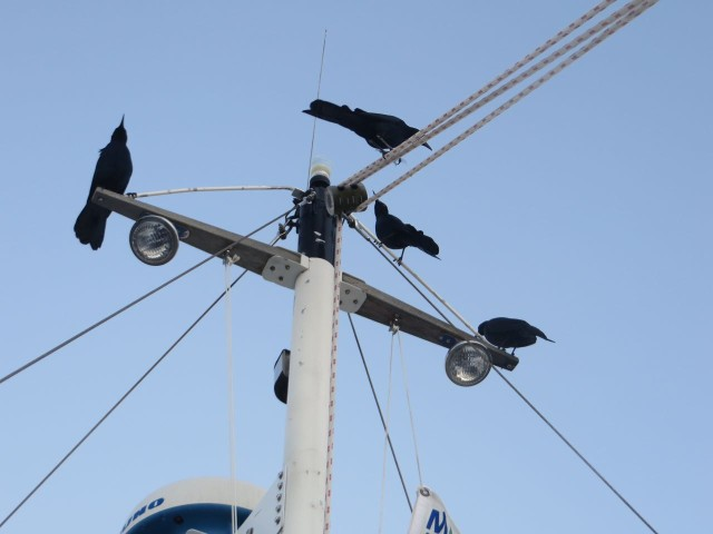 "Speaking of birds...... Our mast may be short and sail-less, but these crows enjoyed sitting there all the same. Had to shoo them off every morning! Is this a ""crows nest""?"