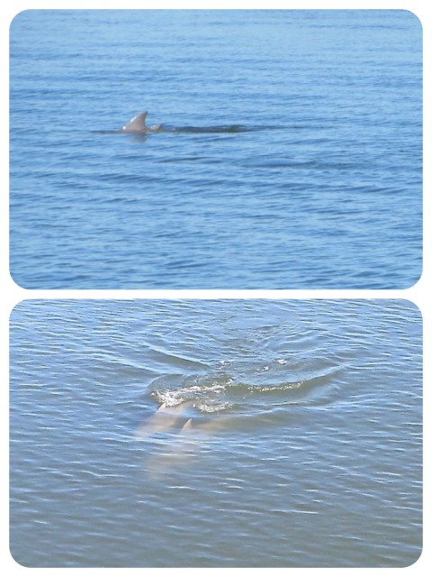Dolphins, dolphins! I got a couple of pics.