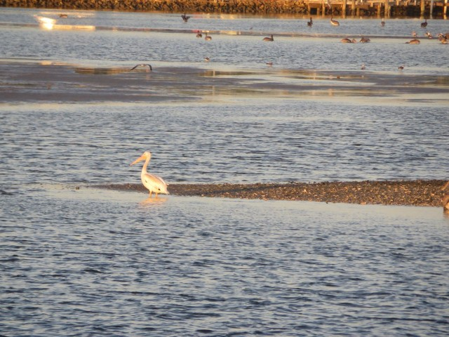 At the every end of this same spit of land, was one lonely white pelican. WE couldn't help but wonder if he was being ostracized or chose to have some alone time.