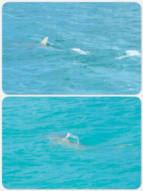 "The hammerhead shark swimming by our boat. In the bottom photo you can just make out his ""hammer head"". Supposedly, hammerhead sharks don't attack humans, but we didn't feel like taking that chance."