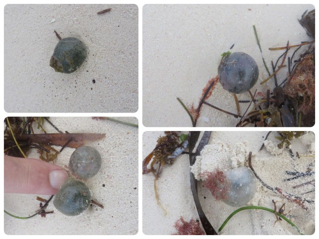 All along the beach, caught in the seaweed and ocean debris were these little round balls. Both of us were rather surprised when we touched them and they squished. We think they are seed cases for something or someone....