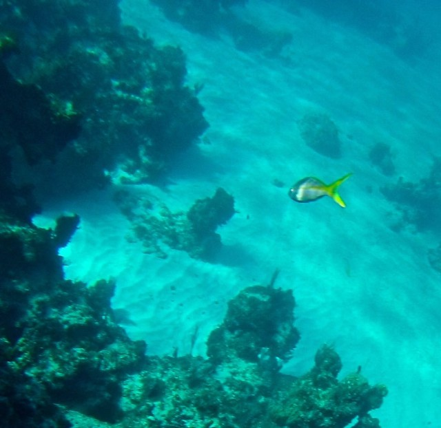 A yellow tail snapper swimming away.
