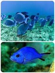 Blue tangs Blue hamlets