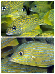 French grunts Blue stripe grunts I cannot tell the difference!