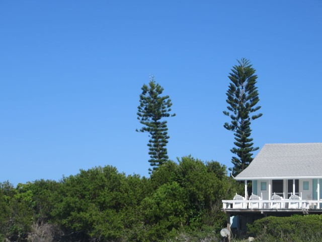 Funny evergreens. When I first saw these in the islands, I didn't think they were real. They almost look like camouflaged cellular towers.