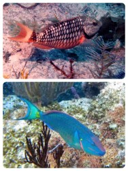 Stoplight parrotfish, immature and mature