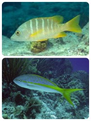 Schoolmaster snapper Yellowtail snapper