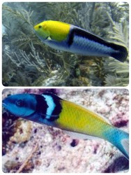 Yellowed wrasse Bluehead wrasse