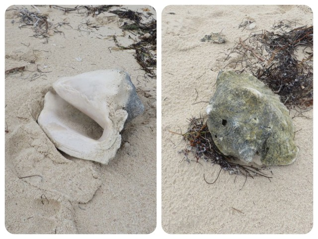 Two old conch shells washed ashore. They have been around for awhile.