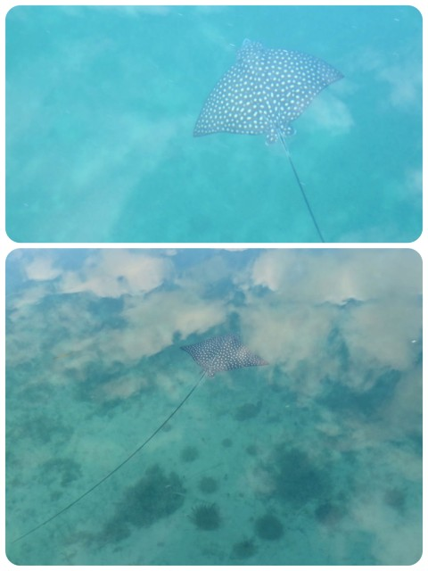 WOW! Were we surprised to see spotted leopard rays as we dinghied. Look at the length of the tail!