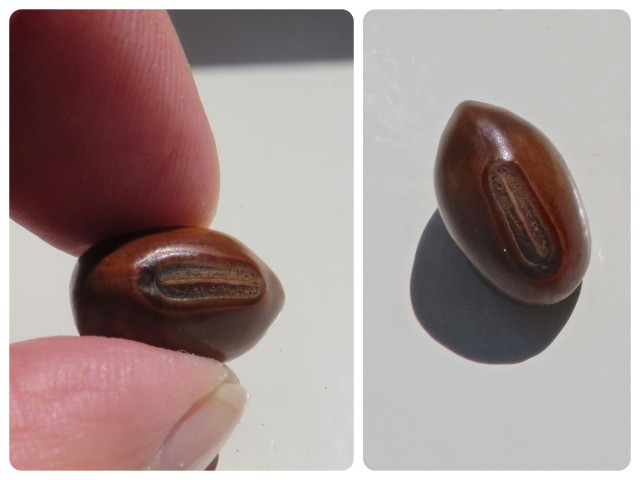 We found one brown nickernut. I'm surprised I even noticed it in the wrack.