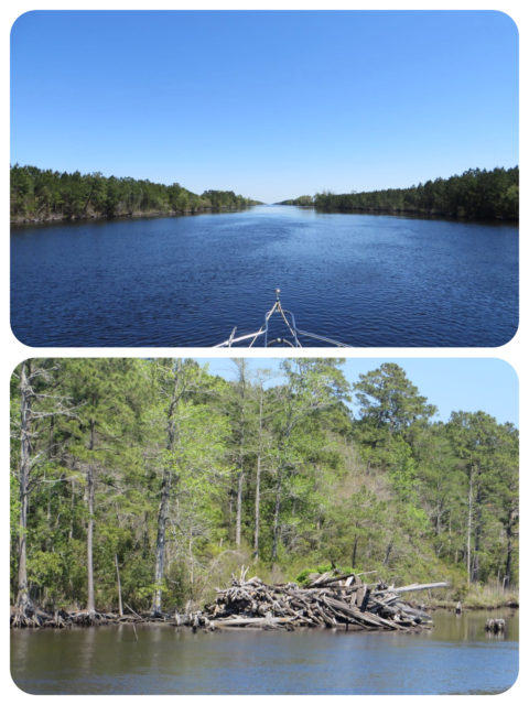 The Alligator River-Pungo River Canal is a long 25 miles stretch of straight water. It has some limited charm, but gets boring fairly quickly. You can see where fallen dead trees are pulled off to the side and piled up. Driftwood, anyone??