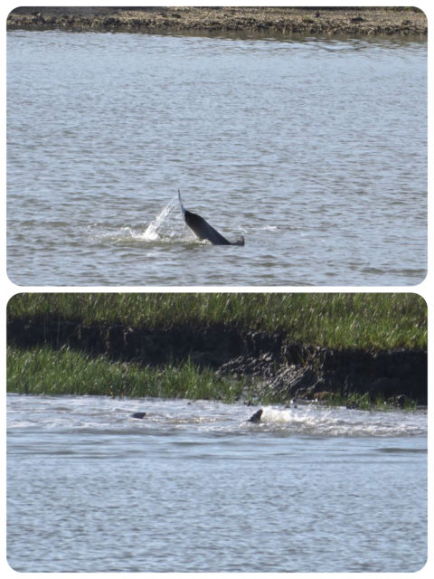 We were still spotting dolphins all through the ICW. I have always thought of them as ocean creatures, but obviously I was wrong about that.