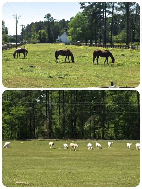 My walk took me past horses grazing and a field of goats. Each winter these goats are kept at Osprey, and in the spring they are gathered and brought back to Murrells Inlet, to Goat Island.