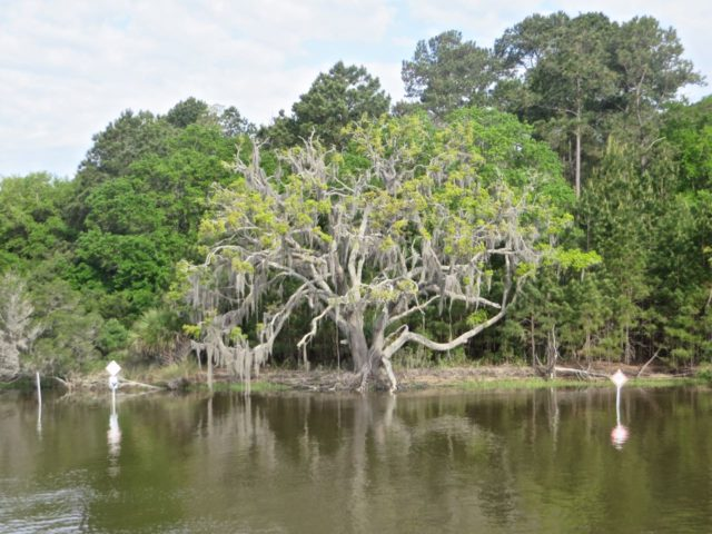 We are still seeing Spanish moss hanging in the branches.