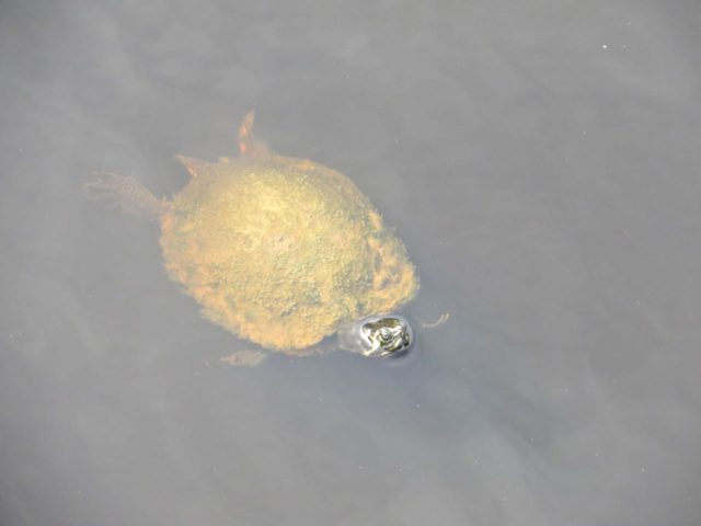 This little turtle was h hanging around the bow of the boat for a long time, never even submerging for a swim. We heard that people feed him. I guess he was expecting a treat to come his way.