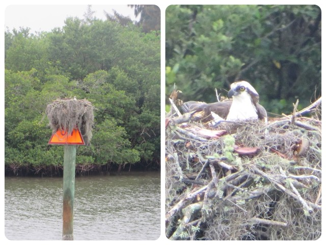 "Ospreys love to build nests on the ICW markers, but this one nearly covers the entire triangle. Can't see his ""house number."""