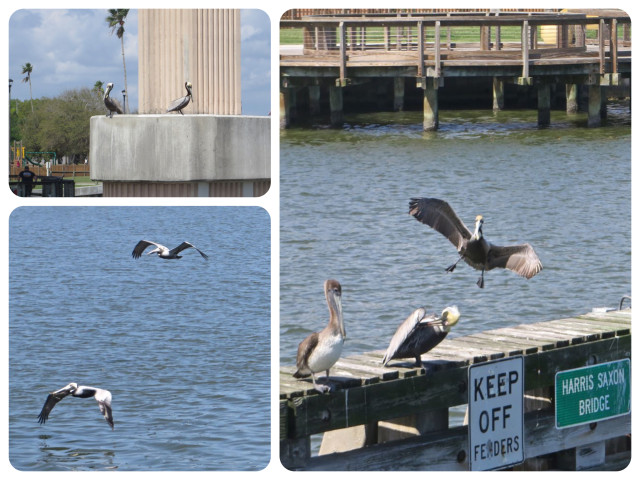 Pelicans! Almost as much fun to watch as dolphins, and certainly easier to photograph.