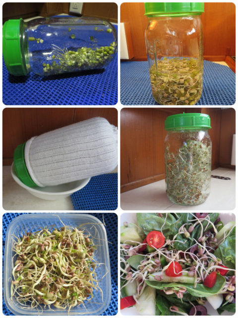 I decided to try growing bean sprouts while cruising. They make a nice crunchy and healthy topping on salads and in sandwiches. The sock not he jar? That's to keep the bright light out while sprouting. Beans don't like too much light.