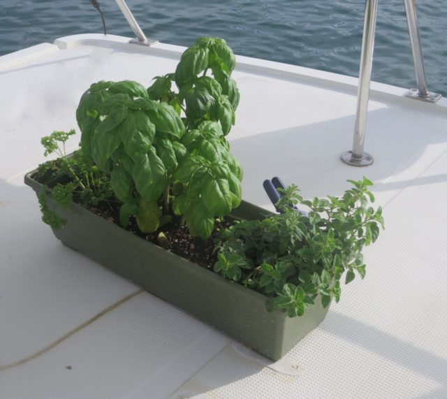 TH herbs did pretty well crossing the Gulf Stream and surviving in the Bahamas. Especially the basil.